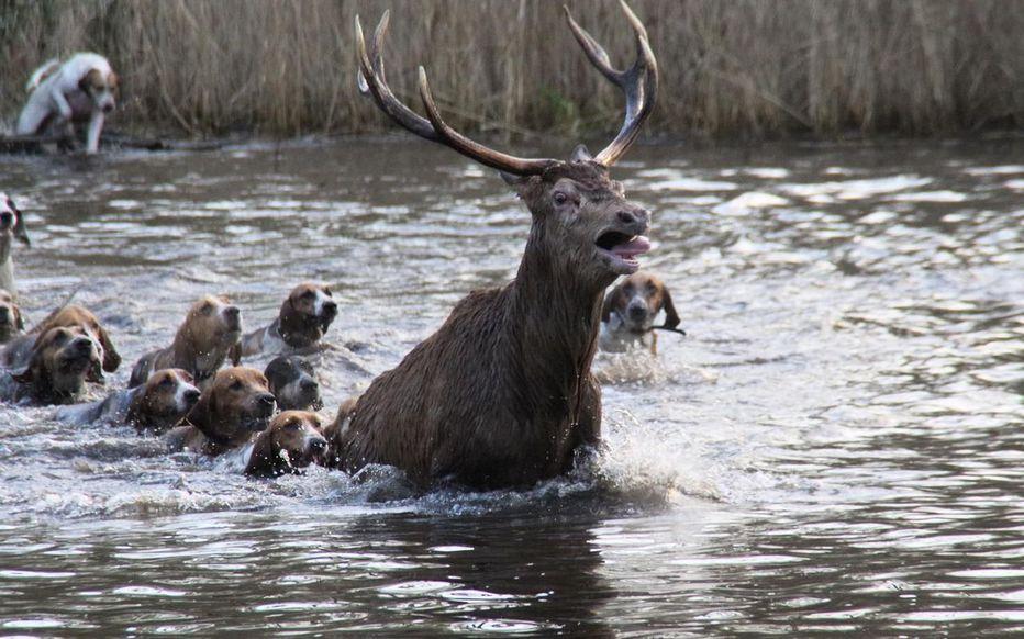 La chasse à courre, une pratique cruelle.