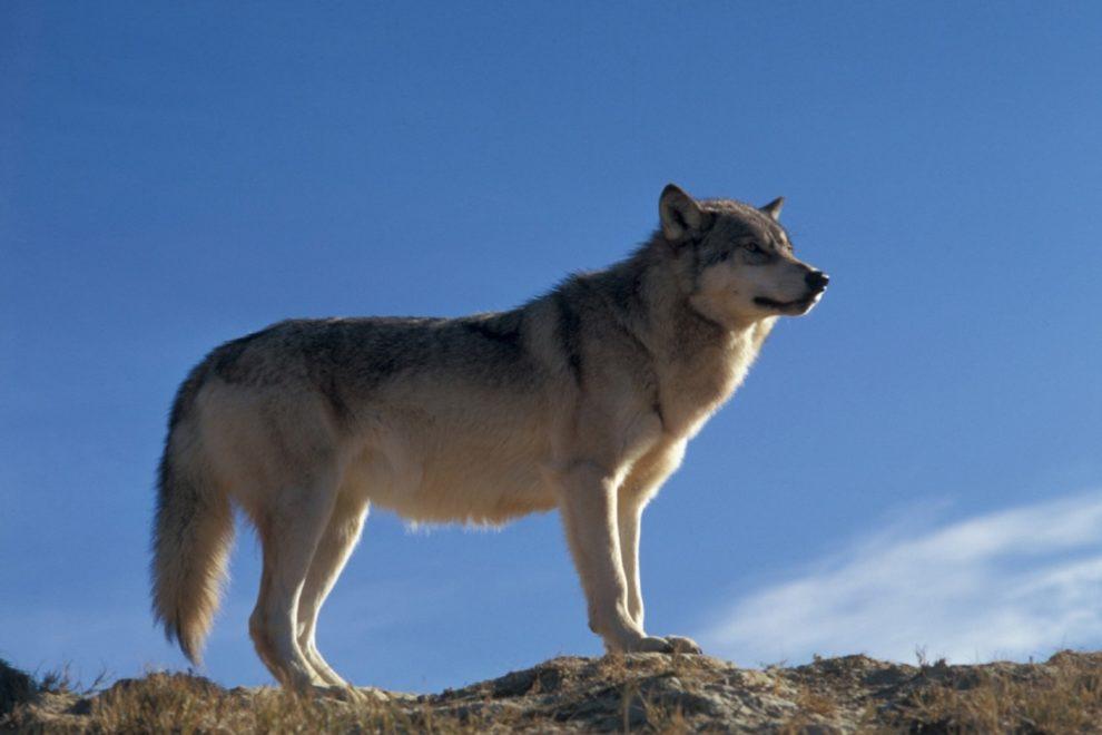 le loup protégé mais pas tant que ça...